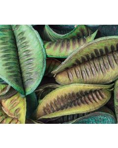 Large Green Pods 100g